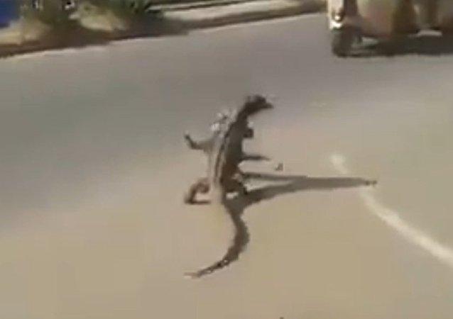 Batalla épica de lagartos en plena carretera