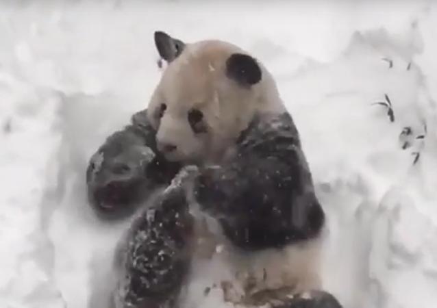 Screenshot del vídeo con un oso panda disfrutando la nevada en EEUU