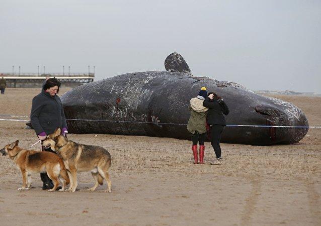 Cachalote muerto, Inglaterra