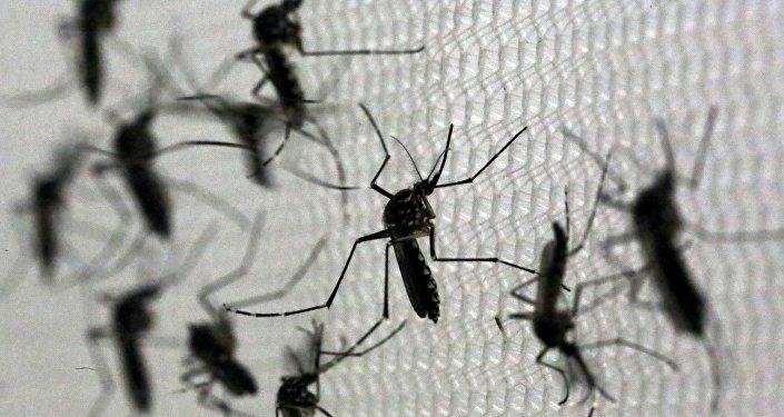 Mosquitos Aedes aegypti