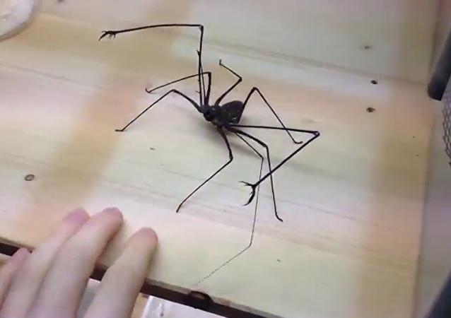 Un hombre se divierte con una araña gigante