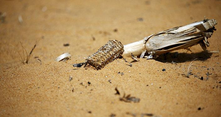 Mazorca de maíz seco