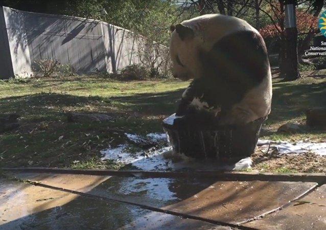 Panda toma un baño de tina