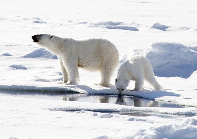 Osos polares cerca del Polo Norte