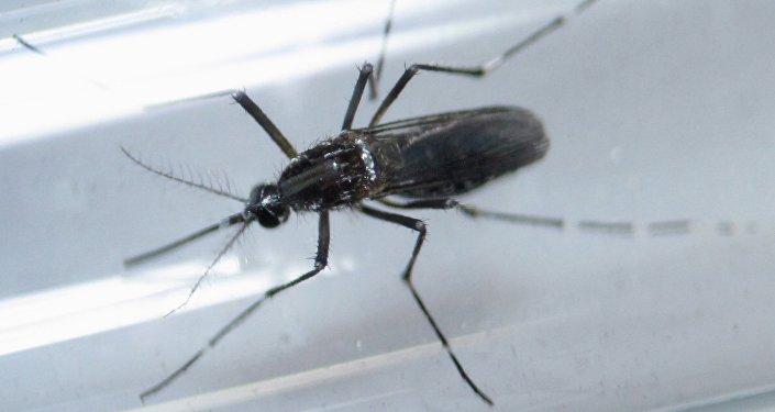 Aedes aegypti, el mosquito transmisor del Zika