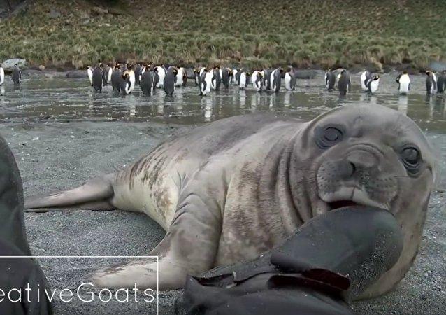 Bebé foca ataca a un hombre