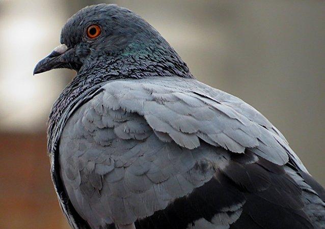 Una paloma (imagen referencial)