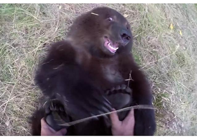 So sweet: un naturalista le hace cosquillas en los pies a un 'grizzly'