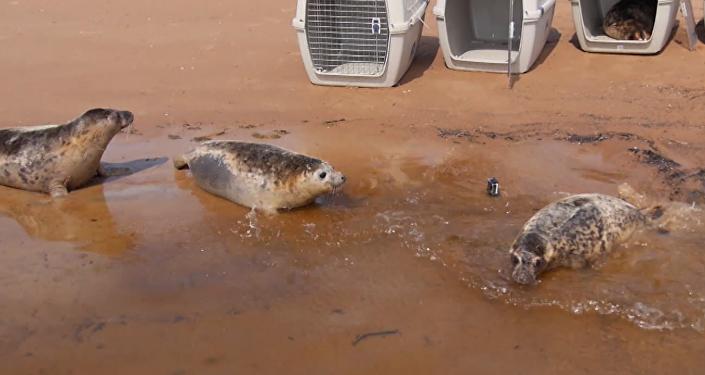 Cinco focas marinas de Rusia encuentran la ansiada libertad