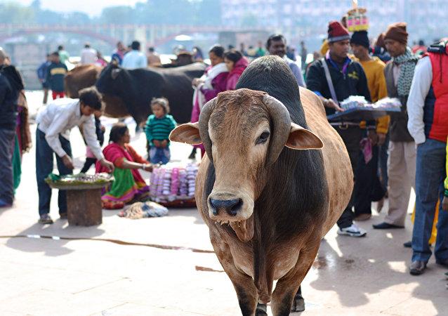 Una vaca en la India (Archivo)