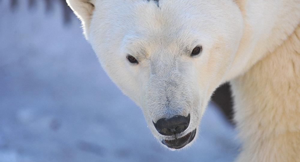 Oso polar (archivo)