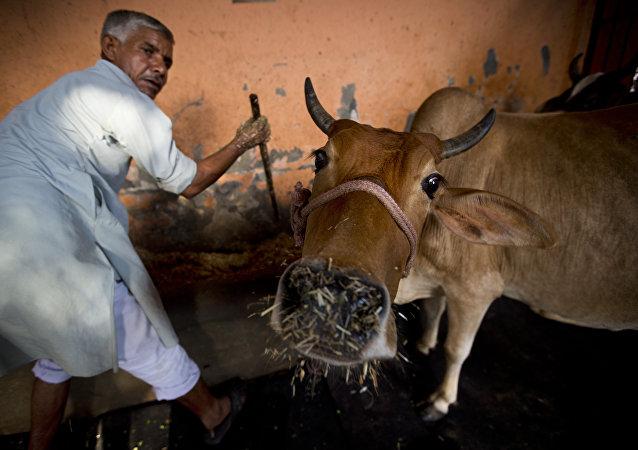 Una vaca en India
