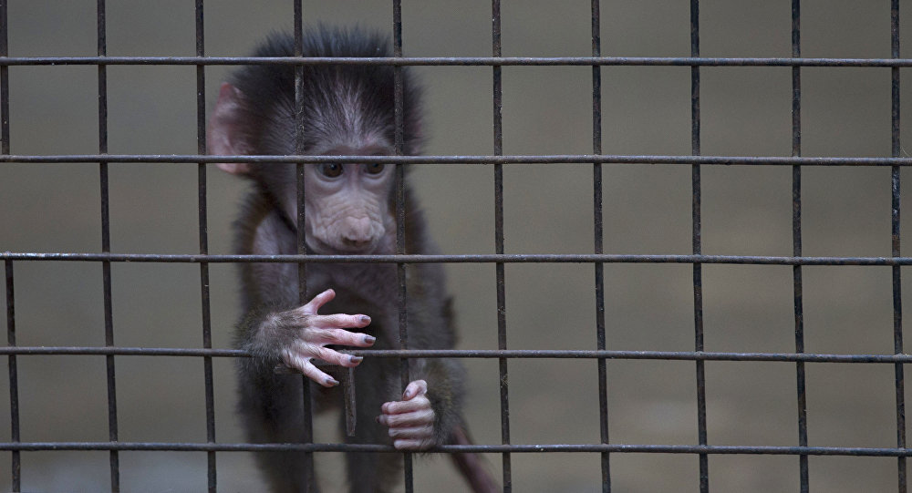 A baby monkey stands inside a cage at the former Buenos Aires Zoo in Argentina, Friday, July 1, 2016.