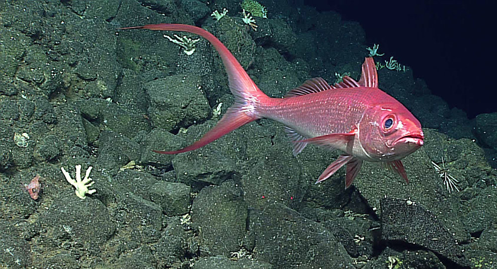 Long-Tail Red Snapper spotted during Dive 2 on Pagan
