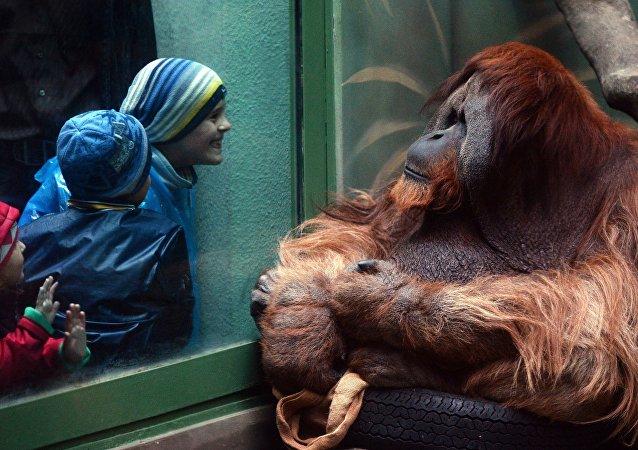 Orangután (archivo)