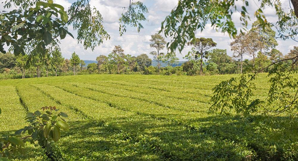 Una plantación de yerba mate en Misiones, Argentina (Archivo)