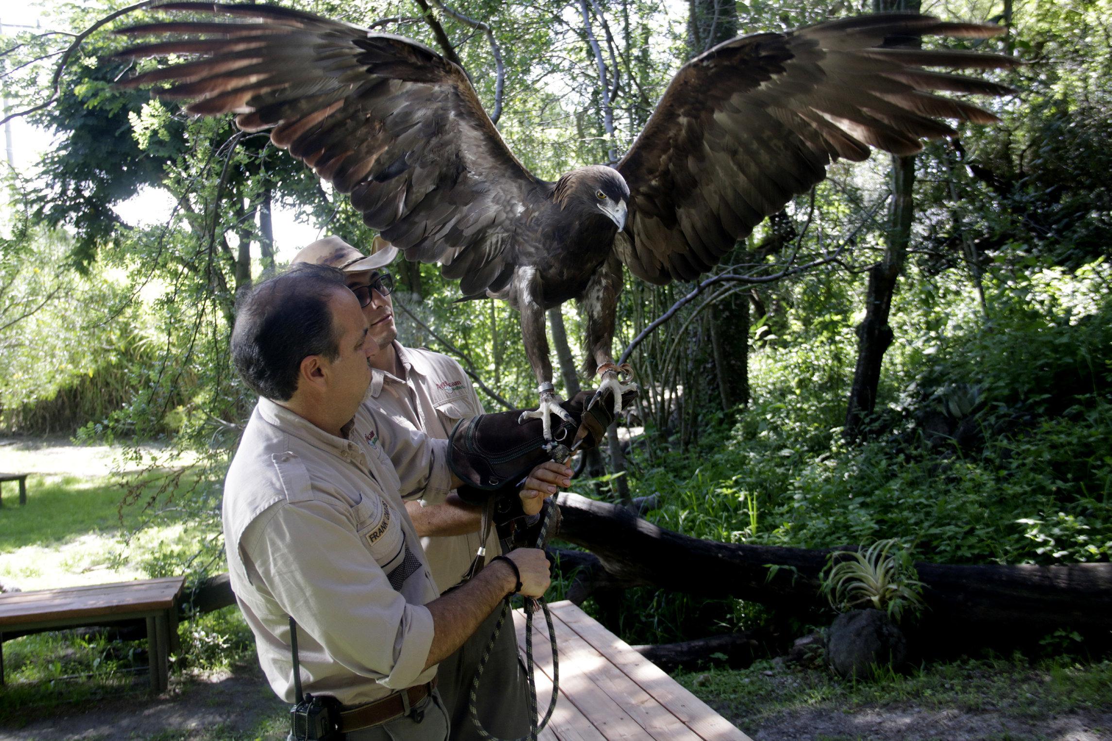 Águila Real, especie amenazada que se reproduce y conserva en Puebla ...