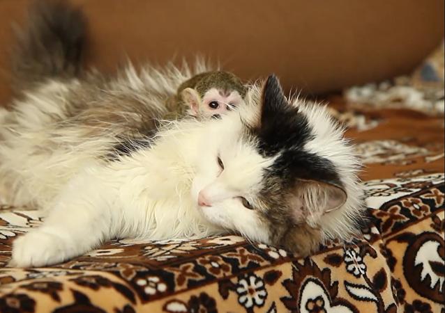 gata rusa adopta a un mono huérfano