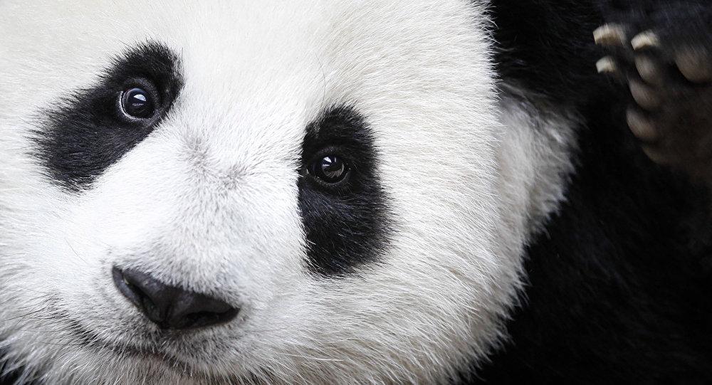 Un oso panda (imagen referencial)