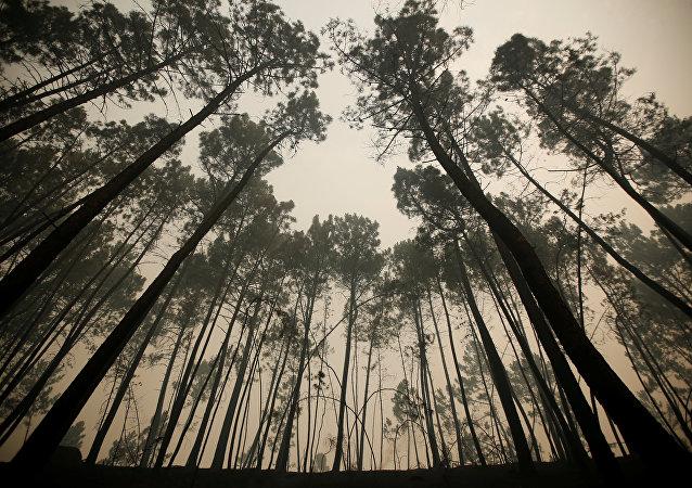 Los pinos después del incendio forestal, Portugal