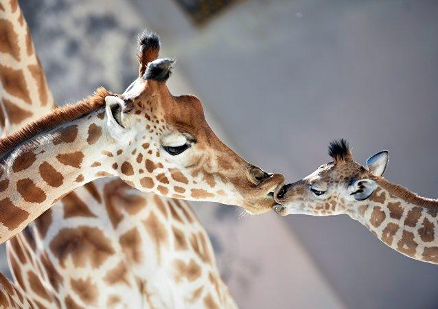 Una cría de jirafa nació a finales de agosto en el zoológico de La Flèche, en Francia. Es muy cariñosa y le encanta dar besos.
