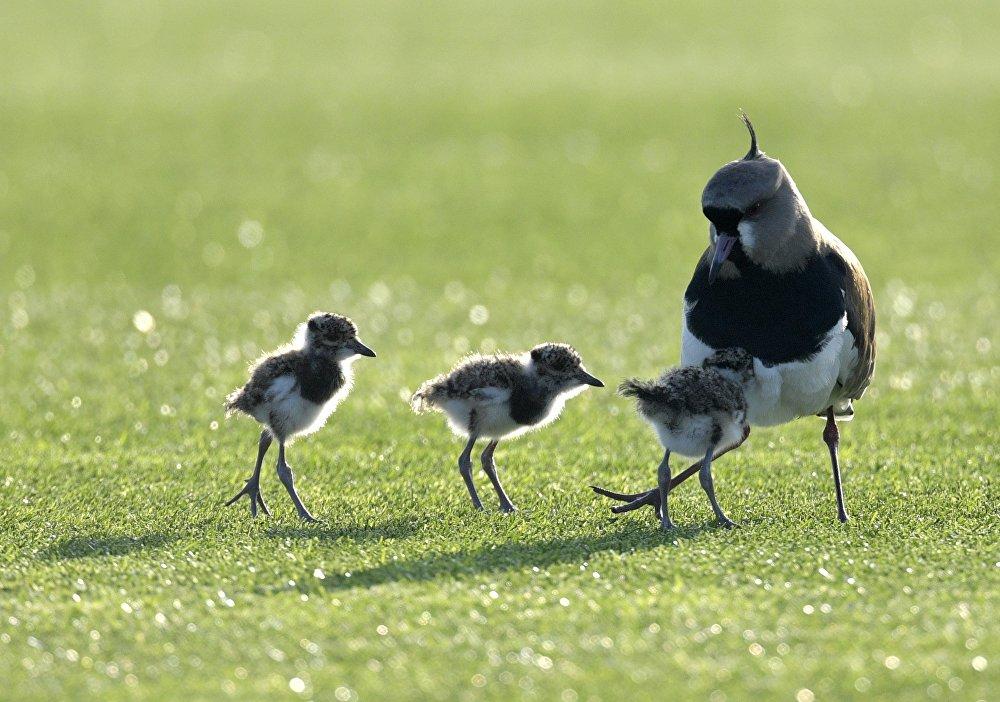 Una mamá pájaro y sus pajaritos se posaron sobre el césped de la cancha de la selección argentina, durante una sesión de entrenamiento en Buenos Aires.