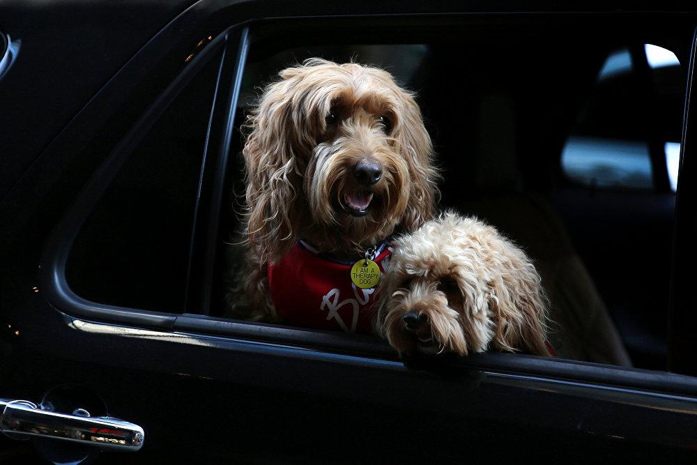 A estos dos hermosos perros neoyorquinos de la raza labradoodle les encanta montar en coche junto a su dueño.