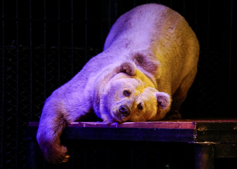 Otra celebridad del zoológico de Krasnoyarsk es el oso Pamir, que sorprende al público con sus trucos acrobáticos.
