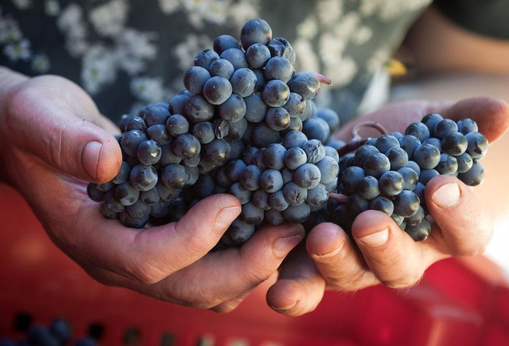 Las condiciones naturales de la península de Crimea permiten el cultivo de una gran variedad de uvas. En algunos lugares aún son preservadas las uvas nativas de la región. Foto: cosecha de las uvas de 'UPPA Winery', en Sebastopol.