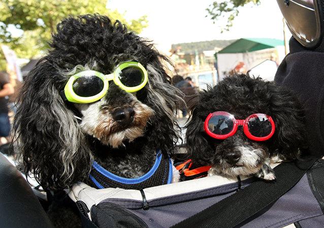 Dos poodles participan de un evento motociclístico en Alemania.