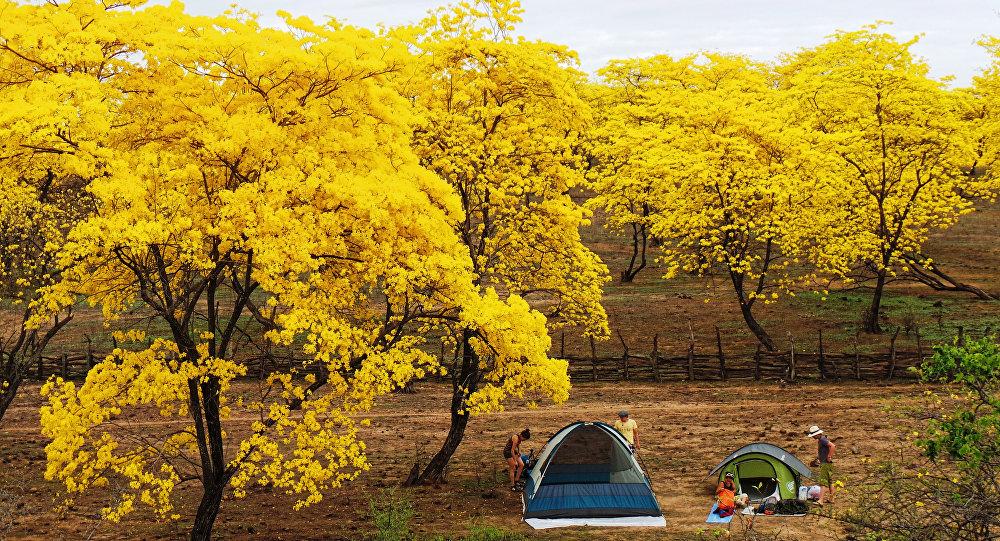 Guayacanes en flor, parroquia Mangahurco, cantón Zapotillo