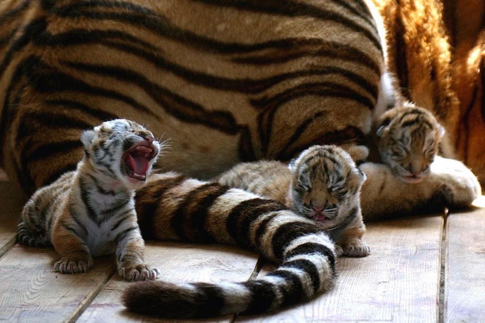 Su majestad el tigre siberiano