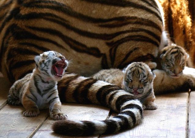 Tigres de Amur