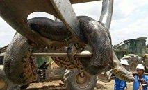 Anaconda gigante de 400 kilos