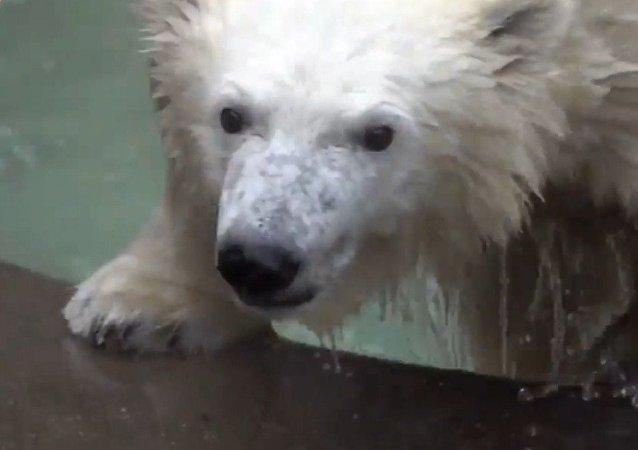 Una cría de oso polar disfruta de un refrescante baño