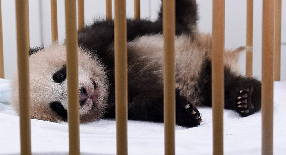 Un panda bebé (archivo)