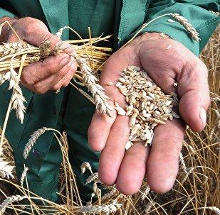 Cosecha de cereales (imagen referencial)