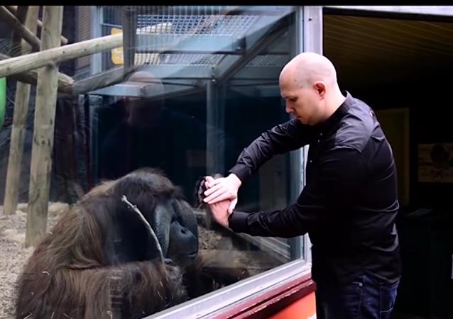 Orangután intenta replicar un truco de magia