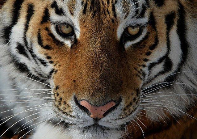 Un tigre de Amur