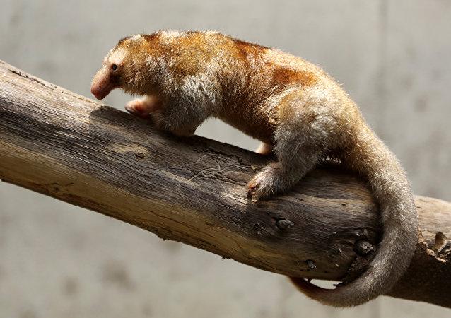 Fredy, el pequeño oso hormiguero pigmeo del zoológico peruano de Huachipa
