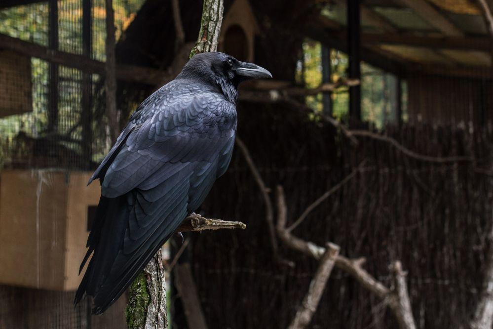 Desde los años noventa entre los habitantes de Kaliningrado se hizo famoso el cuervo hablador nombrado Yasha (Yashka)