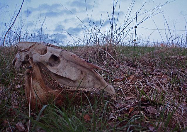 Cráneo de un caballo