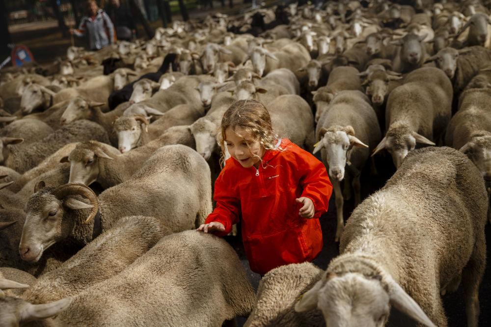 El 23 de octubre pastores españoles llevaron sus ovejas a través de las calles de Madrid