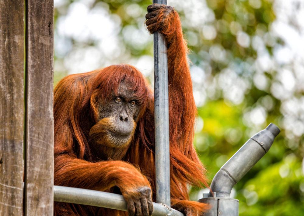 El orangután de Sumatra de 60 años de edad es una verdadera leyenda del zoológico de la ciudad australiana de Perth