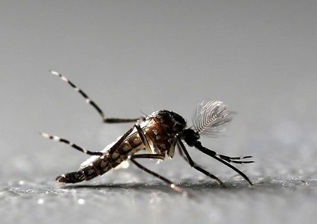 Un mosquito Aedes Aegypti