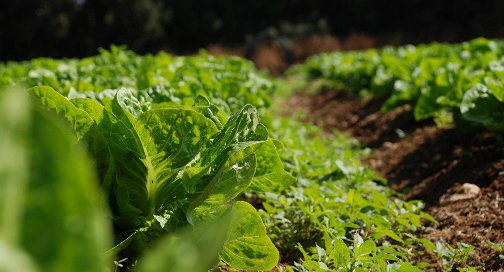 El 71% del trabajo infantil ocurre en la agricultura, según la FAO
