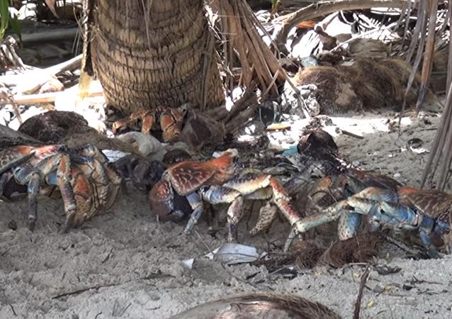 Los cangrejos gigantes de la especie Birgus Latro