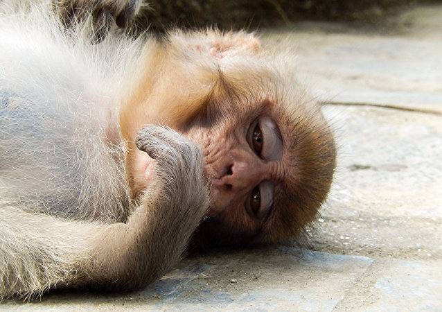 Un macaco Rhesus triste