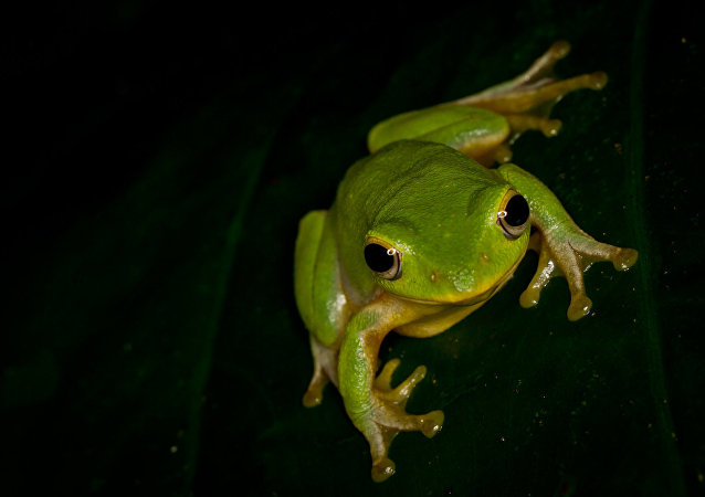 Una rana (imagen referencial)