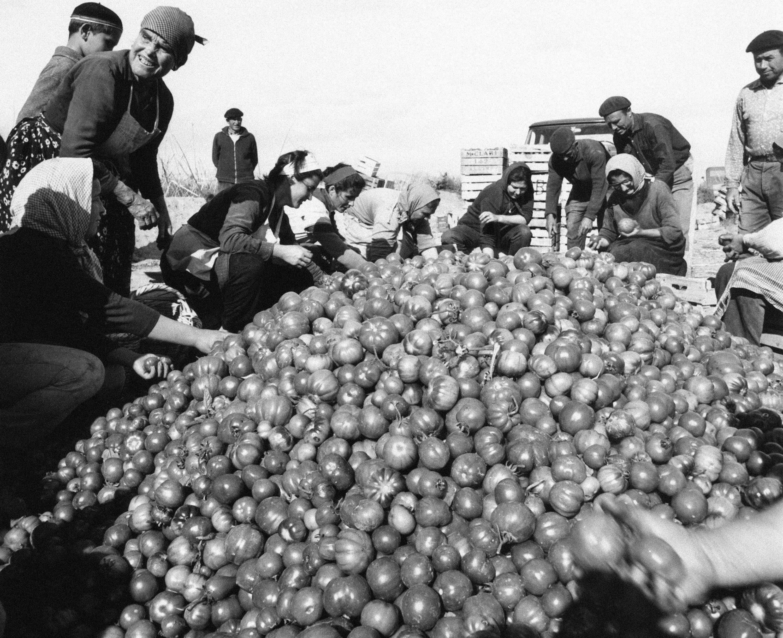 La cosecha de tomates de marzo de 1966 en Palomares